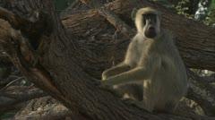Adult Savanna Baboon in tree. Niassa Reserve, Mozambique. - stock footage