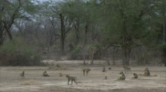 Savanna Baboon troop in Niassa Reserve, Mozambique. - stock footage