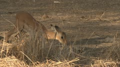 Young antelope eating grass in Niassa Reserve, Mozambique. Stock Footage