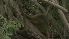 Adult Savanna Baboon in tree, resting. Niassa Reserve, Mozambique. - stock footage