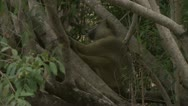 Stock Video Footage of Adult Savanna Baboon in tree, resting. Niassa Reserve, Mozambique.