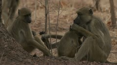 Savanna Baboons relaxing in Niassa Reserve, Mozambique. Stock Footage