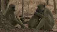 Stock Video Footage of Savanna Baboons relaxing in Niassa Reserve, Mozambique.