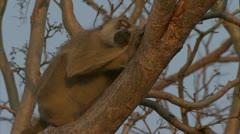 Savanna Baboon sleeping in tree in Niassa Reserve, Mozambique. - stock footage