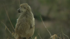 Savanna Baboon alert to its surroundings in Niassa Reserve, Mozambique. Stock Footage