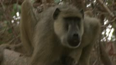 Adult Savanna Baboon in tree, eating and calling. Niassa Reserve, Mozambique. Stock Footage