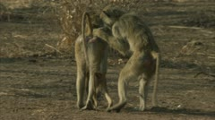 Savanna Baboons walking and grooming. Niassa Reserve, Mozambique. Stock Footage