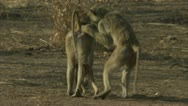 Stock Video Footage of Savanna Baboons walking and grooming. Niassa Reserve, Mozambique.