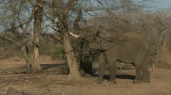 Elephant pulling tree branch. Niassa Reserve, Mozambique. Stock Footage