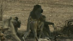 Savanna Baboons in Niassa Reserve, Mozambique. - stock footage