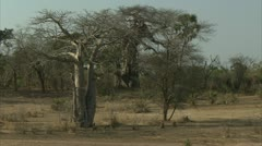 Savanna Baboon troop walking in Niassa Reserve, Mozambique. Stock Footage