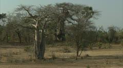 Savanna Baboon troop walking in Niassa Reserve, Mozambique. Stock Footage