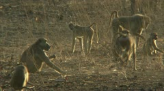 Savanna Baboons foraging and playing in Niassa Reserve, Mozambique. - stock footage