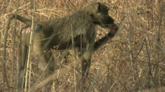 Female adult Savanna Baboon eating. Niassa Reserve, Mozambique. Stock Footage