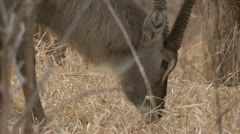 Adult antelope eating in Niassa Reserve, Mozambique. Stock Footage