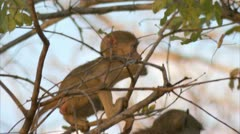 Infant Savanna Baboon suckling on its mother. Niassa Reserve, Mozambique. Stock Footage
