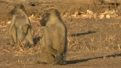Savanna Baboons sitting and yawning. Niassa Reserve, Mozambique. Stock Footage
