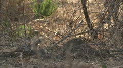 Mongoose smelling through twigs in Niassa Reserve, Mozambique. Stock Footage