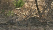 Stock Video Footage of Mongoose smelling through twigs in Niassa Reserve, Mozambique.