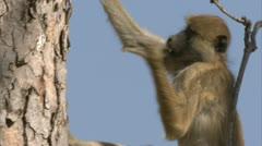 Young Savanna Baboon in tree, eating fungus. Niassa Reserve, Mozambique. Stock Footage