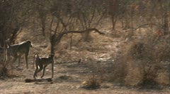Savanna Baboons walking in Niassa Reserve, Mozambique. - stock footage