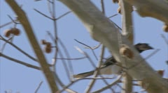 Bird in fruit tree. Niassa Reserve, Mozambique. Stock Footage