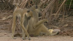 Adult Savanna Baboon sitting and eating. Niassa Reserve, Mozambique. Stock Footage