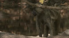 Female Savanna Baboon at water. Niassa Reserve, Mozambique. Stock Footage