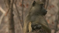 Adult Savanna Baboon sitting in Niassa Reserve, Mozambique. Stock Footage