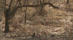 Adult Savanna Baboon reacting to baboon screams. Niassa Reserve, Mozambique. Stock Footage