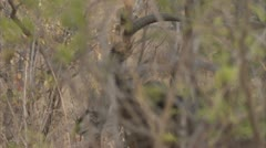 Antelope ram walking in Niassa Reserve, Mozambique. Stock Footage