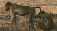 Adult Savanna Baboons grooming in Niassa Reserve, Mozambique. Stock Footage
