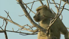 Adult Savanna Baboon in tree, watching the unseen. Niassa Reserve, Mozambique. Stock Footage