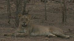 African lioness lying and resting in Niassa Reserve, Mozambique. Stock Footage