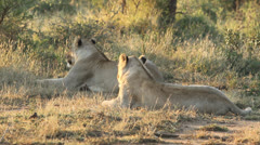 Lions relaxing on dry yellow grass Stock Footage