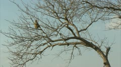 Adult Savanna Baboon in tree. Niassa Reserve, Mozambique. Stock Footage