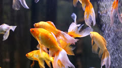 Golden fish - stock footage