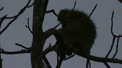 Savanna Baboon sleeping in tree. Niassa Reserve, Mozambique. Stock Footage
