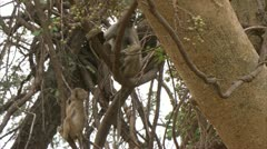 Adult and infant Savanna Baboon eating in tree. Niassa Reserve, Mozambique. Stock Footage