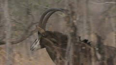 Adult antelope walking in Niassa Reserve, Mozambique. Stock Footage