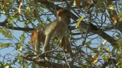 Infant Savanna Baboon in tree, watching the unseen. Niassa Reserve, Mozambique. Stock Footage