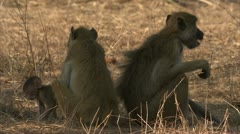 Adult Savanna Baboons sitting back to back. Niassa Reserve, Mozambique. Stock Footage