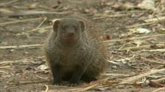 Mongoose calling. Niassa Reserve, Mozambique. Stock Footage