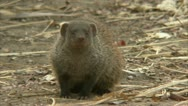 Stock Video Footage of Mongoose calling. Niassa Reserve, Mozambique.