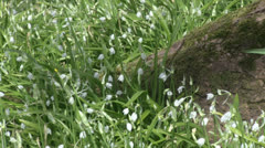 Wild Garlic white Allium spring flowers move in breeze woodland tree 1 Stock Footage