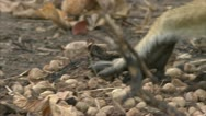 Stock Video Footage of Savanna Baboon hand over dried fruit. Niassa Reserve, Mozambique.