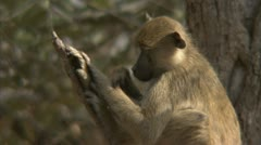 Young Savanna Baboon grooming. Niassa Reserve, Mozambique. Stock Footage