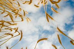 Wheat from below Stock Photos