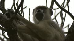 Adult Savanna Baboon sitting in tree. Niassa Reserve, Mozambique. Stock Footage