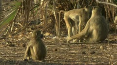 Adult Savanna Baboons grooming and mating. Niassa Reserve, Mozambique. Stock Footage